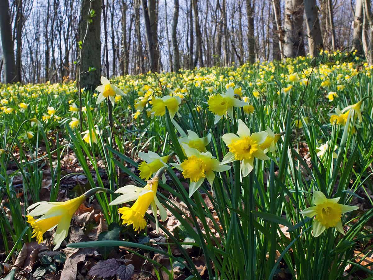 Wilde Narcissen, Narcissus pseudonarcissus
