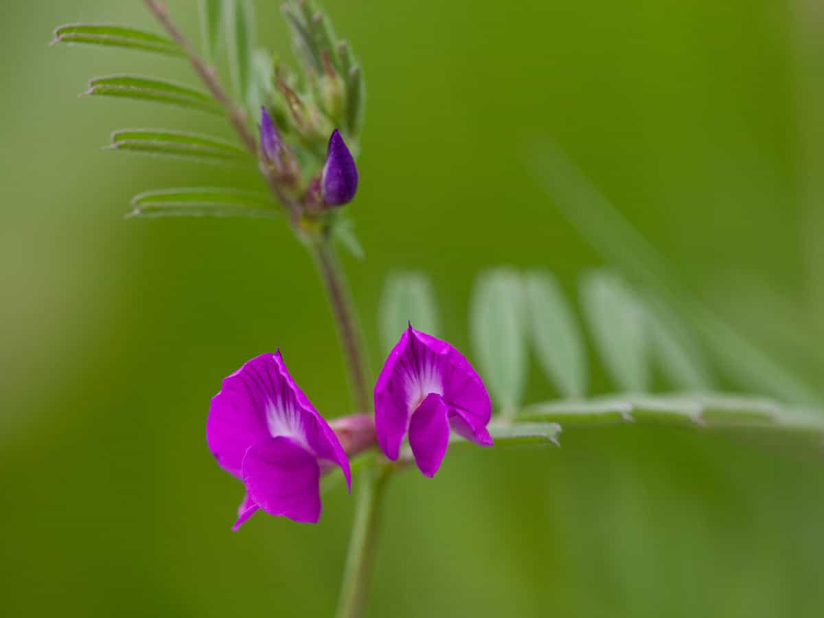 Smalle wikke, Vicia angustifolia