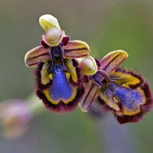 Spiegelorchis, Ophrys speculum