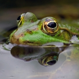 Groene kikker, Rana esculenta