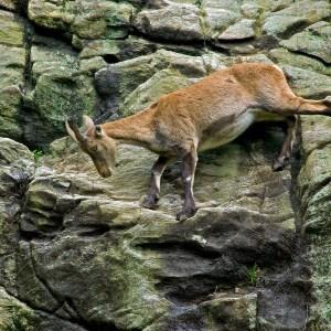 Steenbok, (Capra ibex)