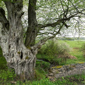 Oude Haagbeuk, Carpinus betulus, lente