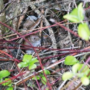 Rosse woelmuis, (Myodes glareolus)