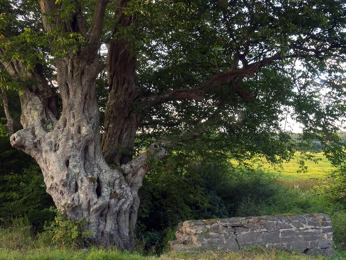 Oude Haagbeuk, Carpinus betulus, zomer