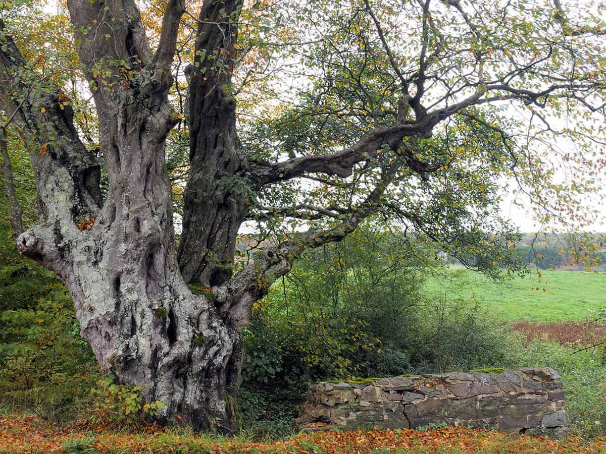 Oude Haagbeuk, Carpinus betulus, herfst