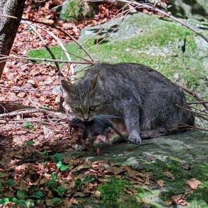 Wilde kat (Felis sylvestris)