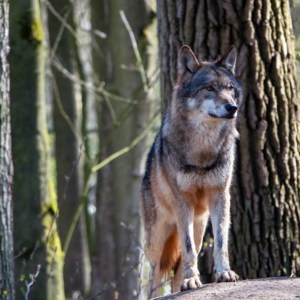 Wolf, (Canis lupus)