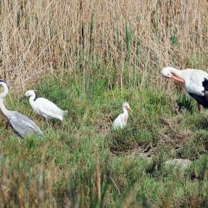 Blauwe reiger (Ardea cinerea), Kleine zilverreiger (Egretta garzetta), Koereiger (Bubulcus ibis) en Ooievaar (Ciconia ciconia)