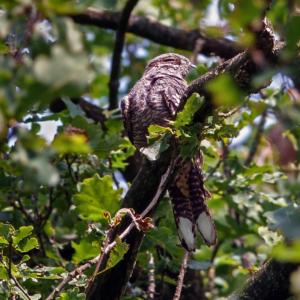Nachtzwaluw, overdag al meer dan 3 maanden rustend op dezelfde tak.