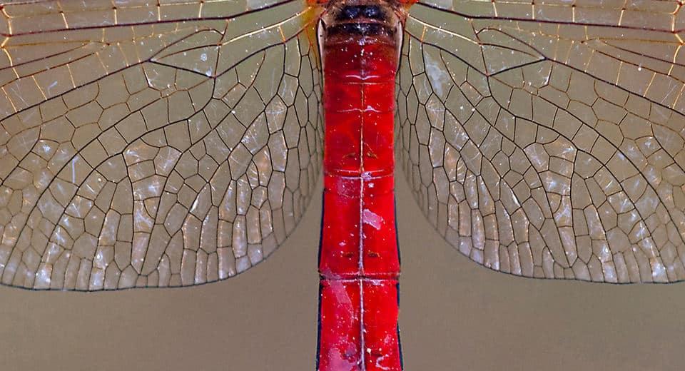 Bandheidelibel-detail