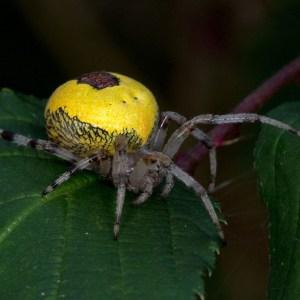 Marmerspin (Araneus marmoreus)