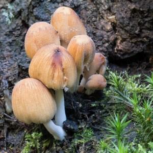 Glimmerinktzwam, (Coprinellus truncorum)
