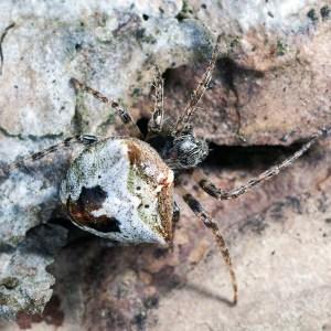 Sparrenknobbelspin (Gibbaranea omoeda)