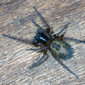Trechterspin (Agelenidae sp)