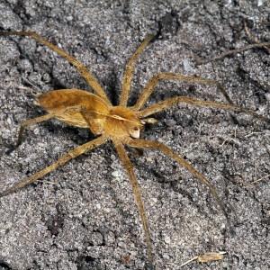 Kraamwebspin (Pisauridae sp)