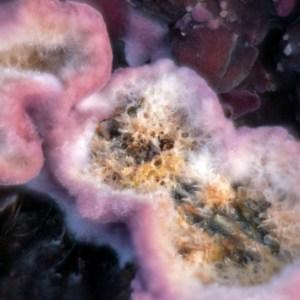 Paarse korstzwam (Chondrostereum purpureum)