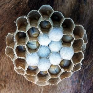 Hoornaar, (Vespa crabro) nest met eitjes, larven en poppen