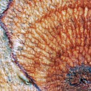 Spekzwoerdzwam (Phlebia tremellosa), als vorige maar 2 weken later.