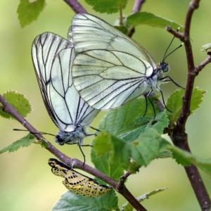 Parende Groot Geaderd Witjes in de Ardennen. Op het takje onder de vlinders zie je de lege pop waar een van beiden uitgekomen is. Categorie ongewervelden.