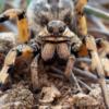 Ook deze Europese tarantula kijkt me hier met meerdere ogen aan.