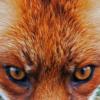 Als een vos je zo van onderuit aankijkt krijg je toch wel de neiging om een stapje terug te doen.