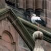 Op de kerk in het centrum van Munster nestelen een aantal van ooievaars.