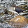 In het riviertje de Fecht, dat langs de camping stroomt was deze waterspreeuw druk in de weer.
