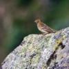 Graspieper (Anthus pratensis), wat hoger in de bergen.