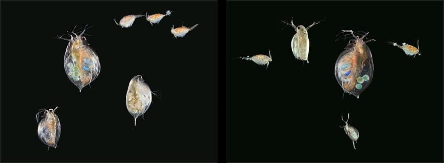 Watervlooien en eenoogkrefftjes
