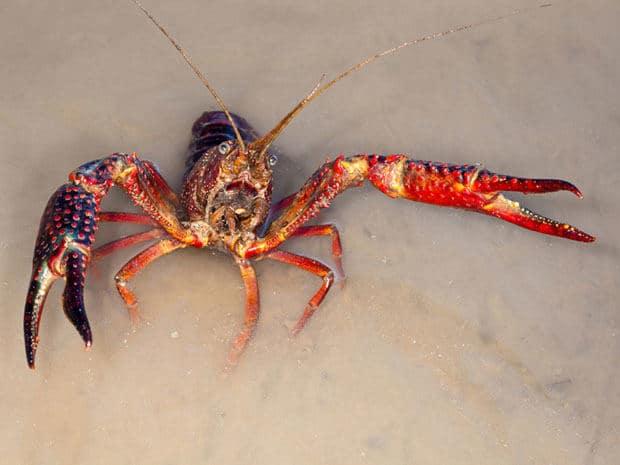 Amerikaanse rode rivierkreeft (Procambarus clarkii)